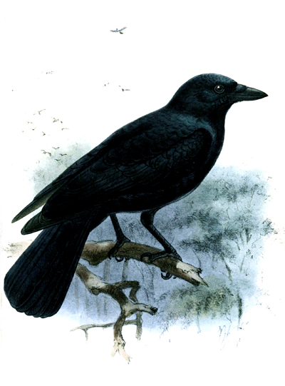 Crow by John Gerrard Keulemans, common domain